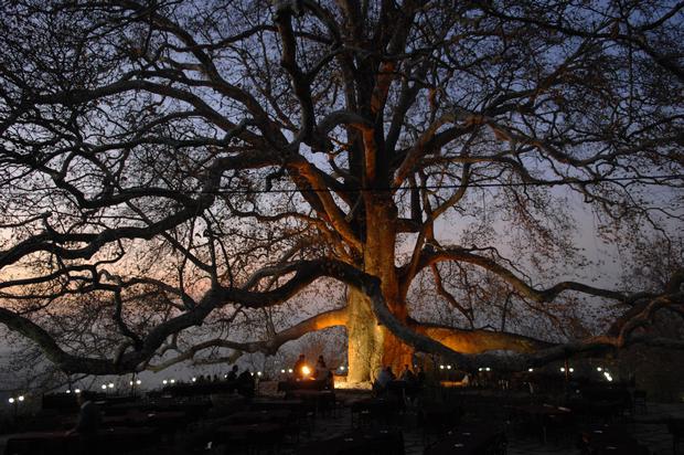 الشجرة المعمرة في بورصة