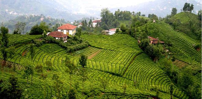 مزارع الشاي في ريزا