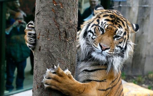 نمر سومطرة في حديقة حيوان لندن