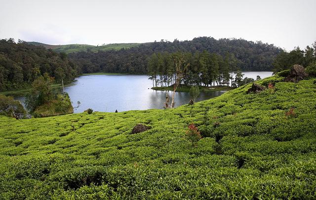 بحيرة بجانب مزارع الشاي في تشيبودي