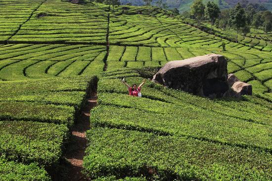 مزارع الشاي تشيبودي