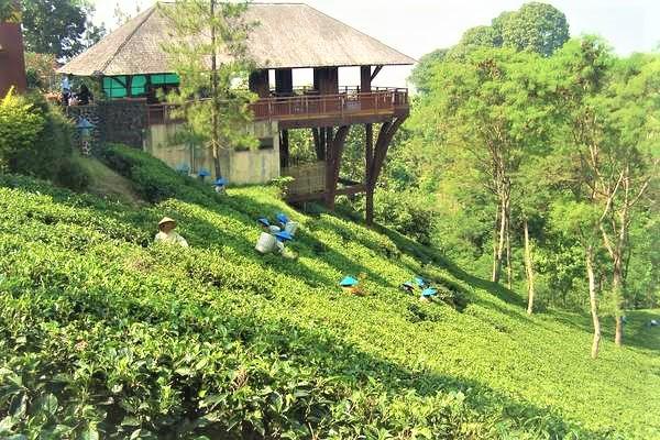 مزارع الشاي من اجمل اماكن السياحة في باندونق اندونيسيا
