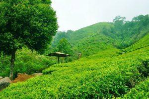 تعرف على افضل الانشطة في مزارع الشاي تشيبودي باندونق احدى اجمل الاماكن السياحية في باندونق اندونيسيا