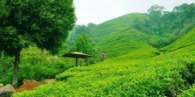 مزارع الشاي في تشيبودي
