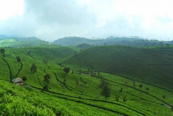 مزارع الشاي في مدينة باندونق اندونيسيا