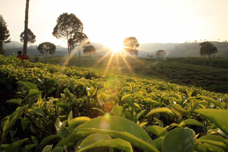 مزارع جونونج ماس من اجمل اماكن السياحة في بونشاك اندونيسيا