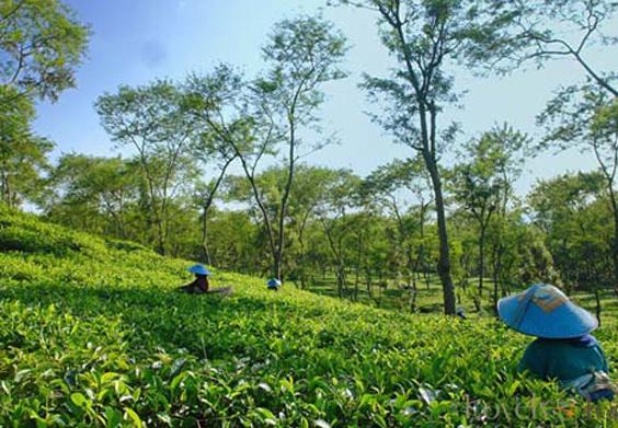مزارع جونونج ماس بونشاك في اندونيسيا