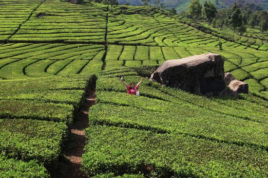 مزارع الشاي تشيبودي باندونق اندونيسيا