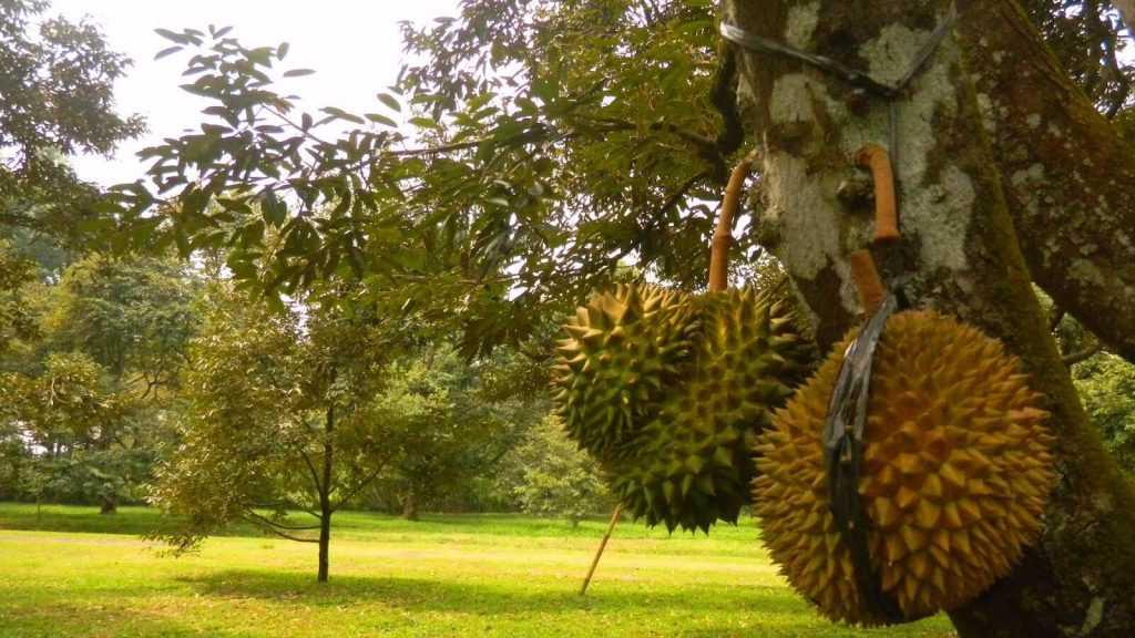 حديقة الفواكه في مدينة بونشاك اندونيسيا