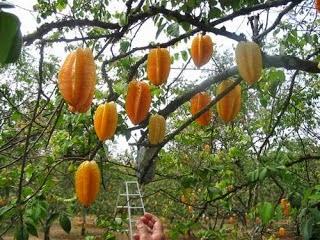 حديقة الفواكه من اجمل اماكن السياحة في بونشاك اندونيسيا