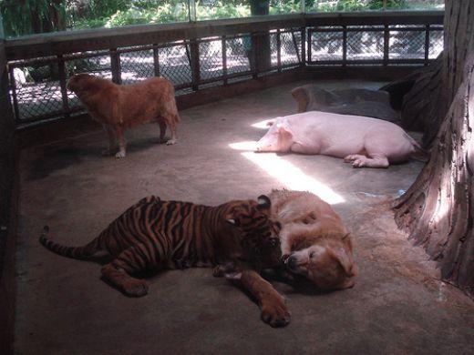 حديقة النمور من اهم اماكن سياحية في بتايا تايلاند