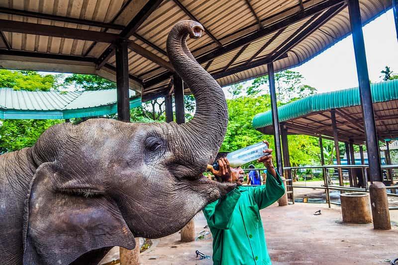 ميتم الفيلة في مدينة كاندي سريلانكا