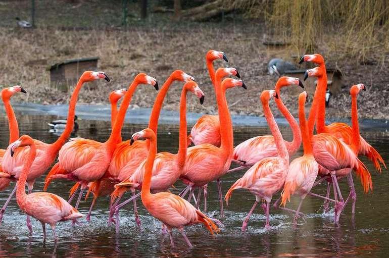 طائر الفلامينغو في حديقة حيوانات هايدلبرغ
