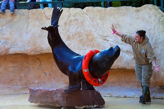 عرض أسد البحر في حديقة حيوانات هايدلبرغ