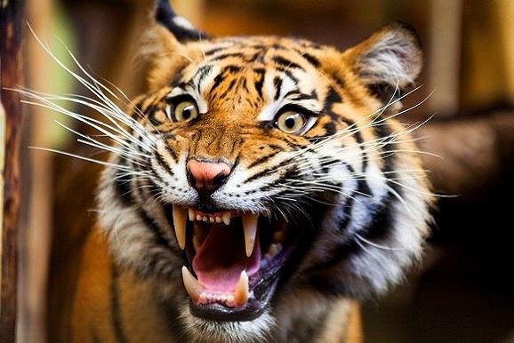 النمور في حديقة حيوانات هايدلبرغ