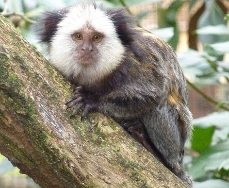 القرود في حديقة حيوانات هايدلبرغ