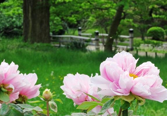 حديقة الفاوانيا في حدائق هاماريكيو في طوكيو
