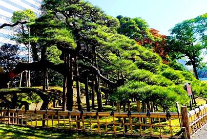 شجرة الصنوبرة المعمرة في حدائق هاماريكيو في طوكيو