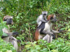 غابة جوزاني زنجبار