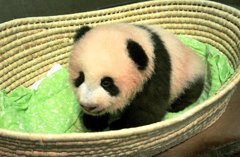 طفلة الباندا في حديقة حيوان أوينو
