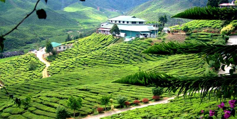 مزارع الشاي في كاميرون هايلاند بماليزيا