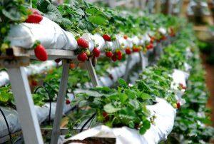 مزارع الفراولة كاميرون هايلاند ماليزيا