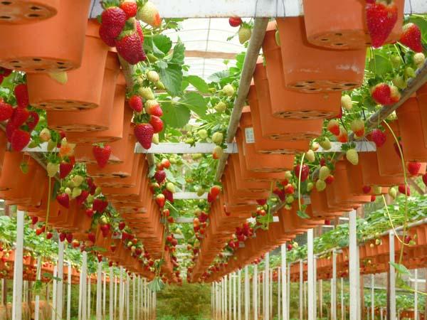 مزارع الفراولة في كاميرون هايلاند