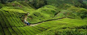 مزارع الشاي في كاميرون هايلاند ماليزيا