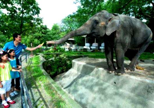 إطعام الفيل في حديقة حيوانات نيجارا الوطنية في كوالالمبور