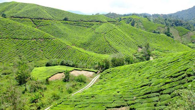 افضل اماكن السياحة في كاميرون هايلاند - السياحة في ماليزيا