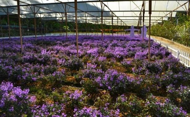 مزارع الفراولة بجنتنج ماليزيا