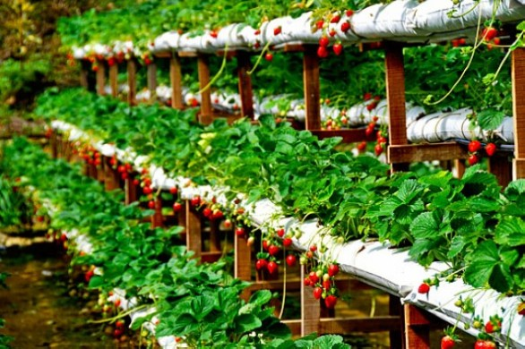 مزارع الفراولة جنتنج بماليزيا