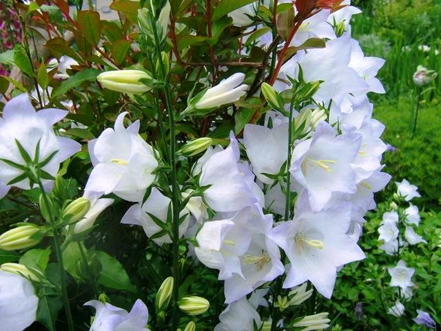 حديقة الزهور البيضاء في أفضل 7 أنشطة في حديقة الملكة سيريكيت النباتية في شنغماي تايلاند