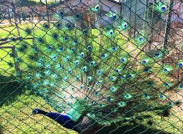 الطاووس في حديقة حيوانات سامسون