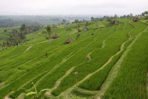 مزارع الارز في بالي