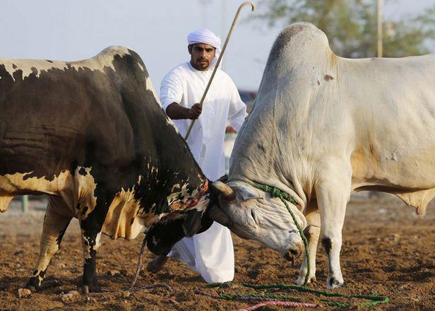ساحة مصارعة الثيران في الفجيرة الامارات