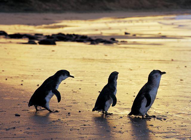 جزيرة فيليب ملبورن من افضل الاماكن السياحية في ملبورن استراليا