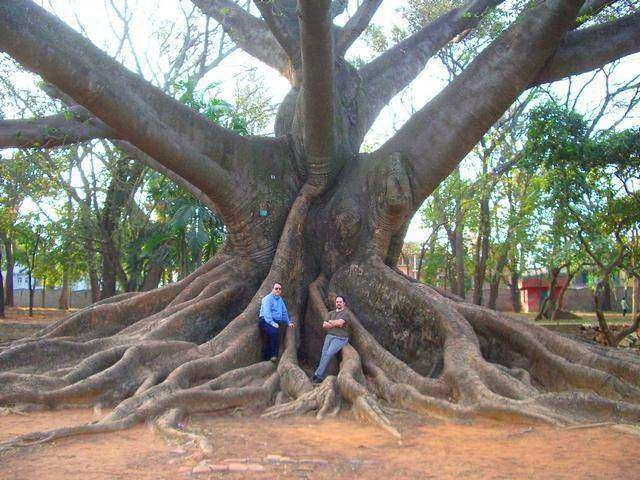 شجرة الكابوك في حديقة لال باغ
