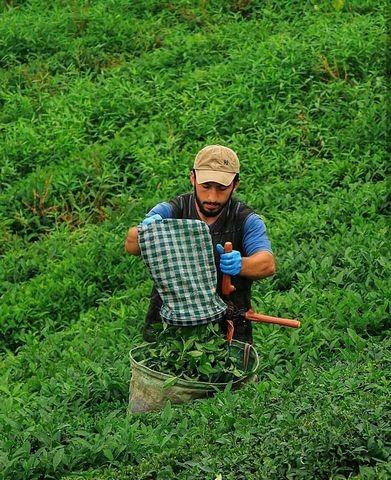 مزارع الشاي في ريزا الجميلة