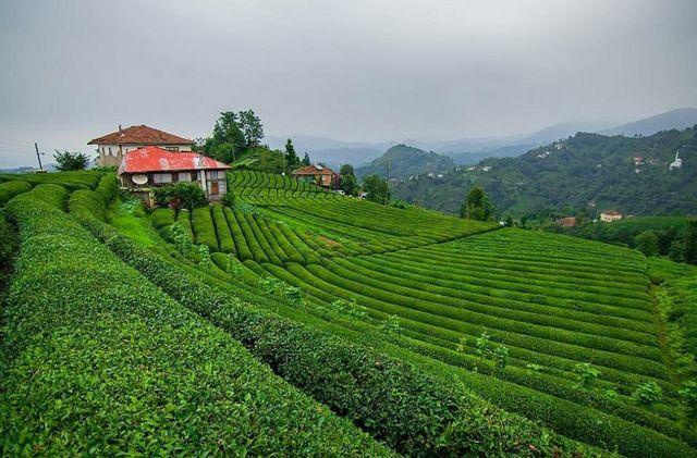 مزارع الشاي في ريزا المعروفة